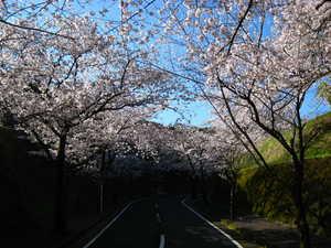 桜(国分城山公園2).jpg
