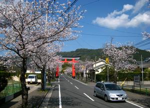 鹿児島神宮桜.png